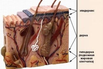 Строение кожи лица: слои